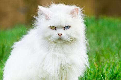 Tutto quello che c'è da sapere sul Gatto d'Angora Turco
