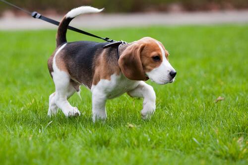 cucciolo di beagle a spasso nel prato