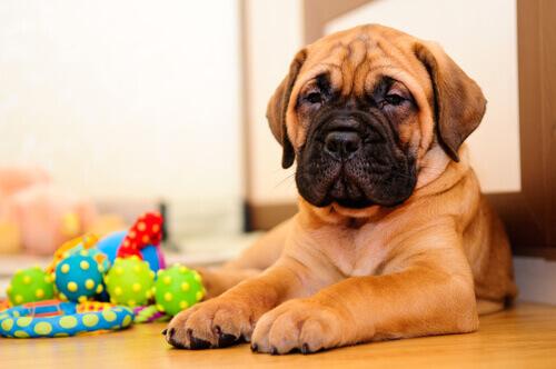 cucciolo di cane per terra con giochi