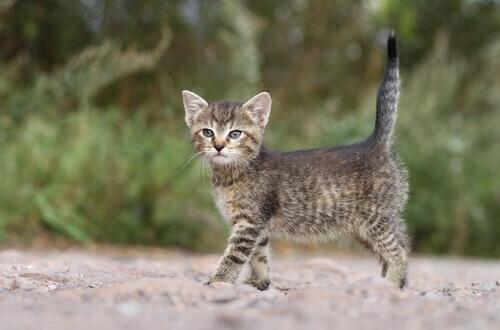 cucciolo di gatto con coda dritta