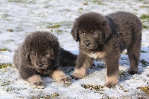 due cuccioli di mastino tibetano sulla neve