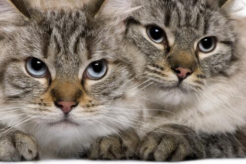 due esemplari di gatto balinese
