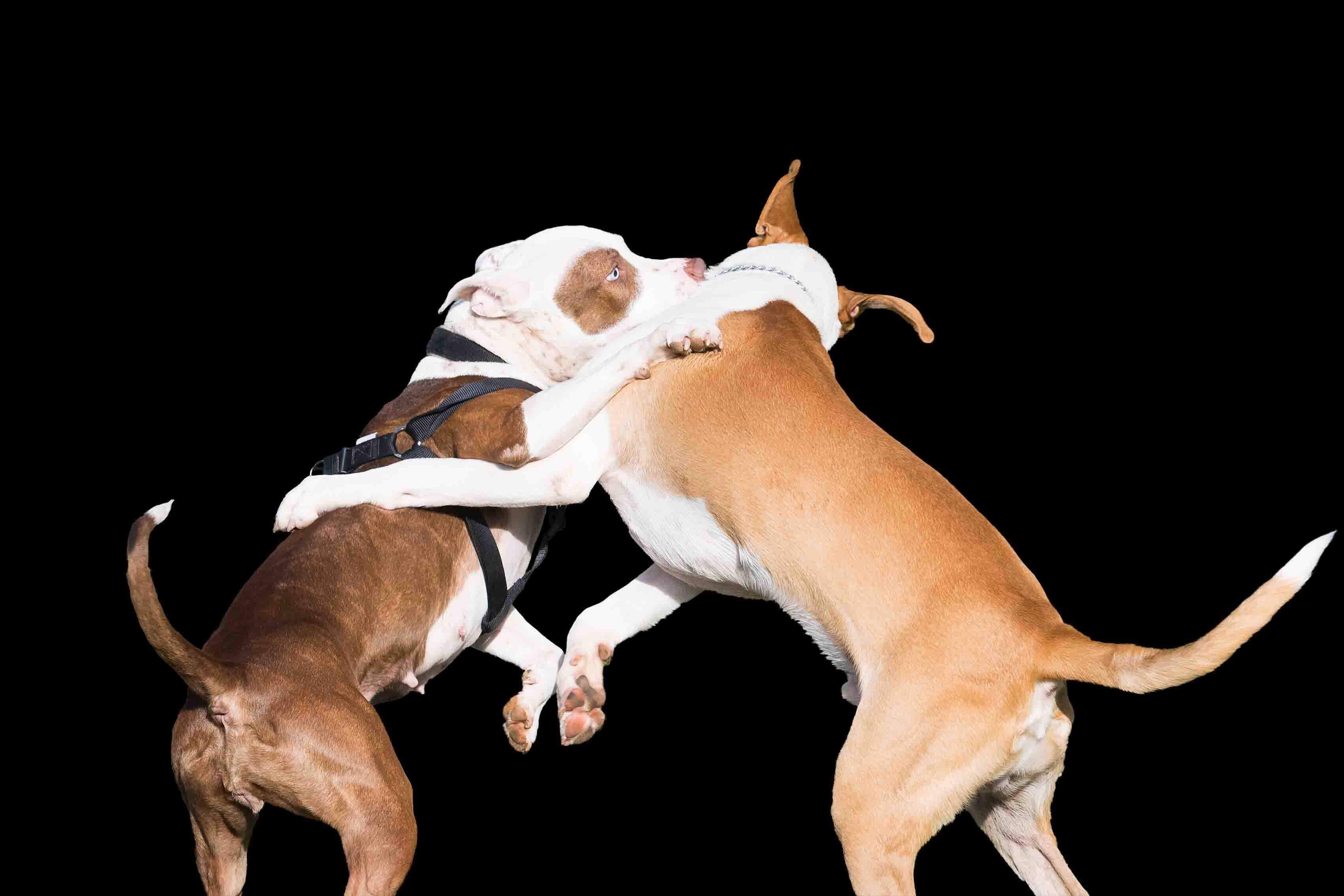 due pitbull che combattono