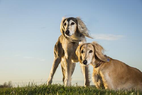 Saluki, il cane reale dell'Antico Egitto
