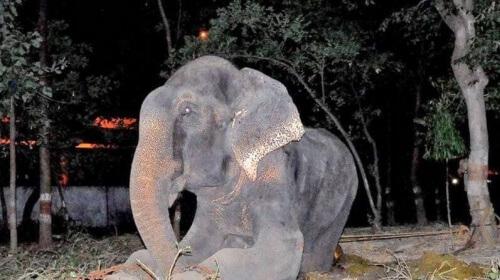 elefante del circo che piange