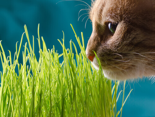 gatto che annusa l'erba gatta