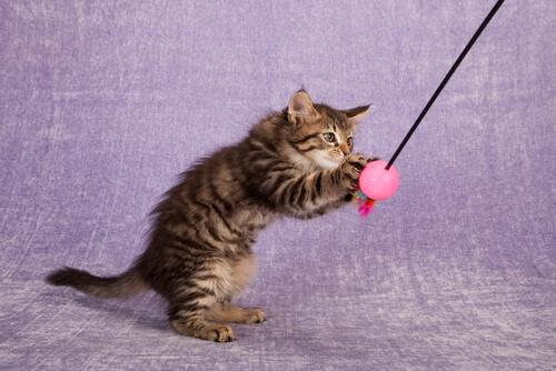 gatto che gioca con una palla sospesa