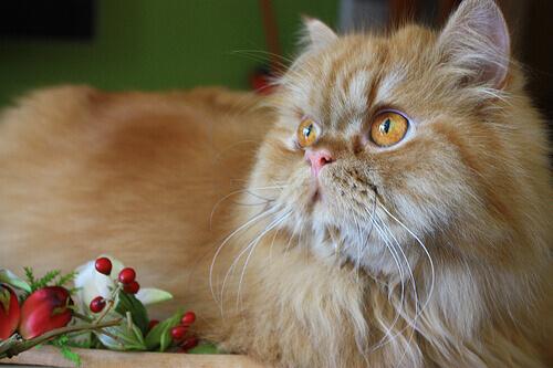 Le 8 razze di gatti più affettuosi al mondo