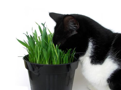 gatto con muso nell'erba gatta