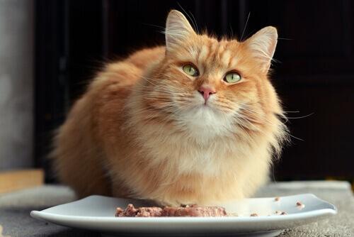 gatto arancione con piatto con cibo