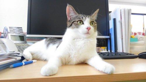 Un'azienda giapponese assume gatti contro lo stress