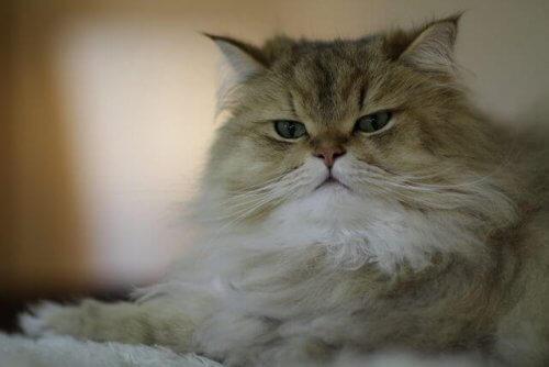 gatto dal pelo lungo da pettinare