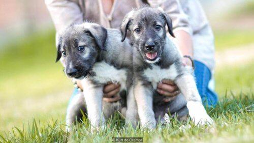 Cani gemelli