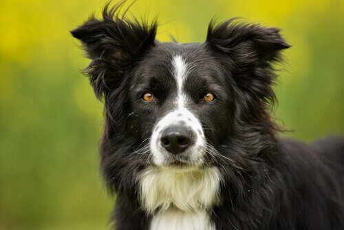 il muso di un border collie