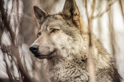 il muso di un cane lupo nella foresta
