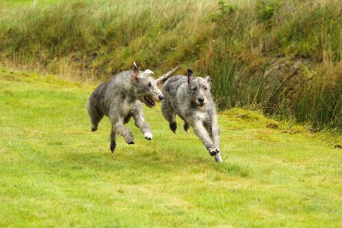 Levrieri irlandesi corrono sul prato