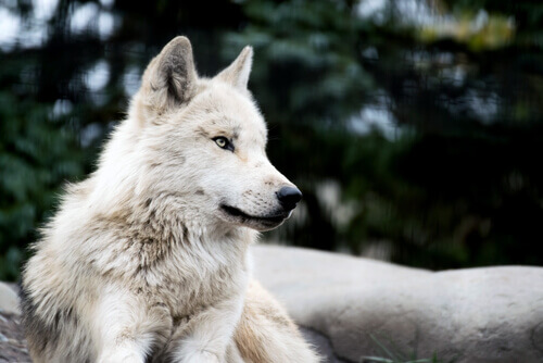 lupo bianco sdraiato