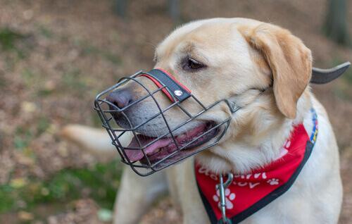Insegnare al cane a portare la museruola