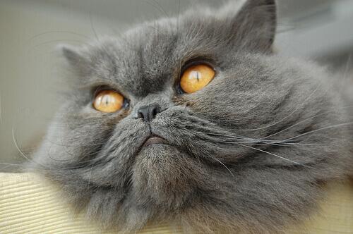 Quali sono le razze di gatti più popolari?