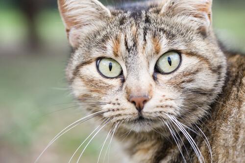 occhi e muso di un gatto