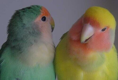 Uccellini in casa: meglio la vita di coppia