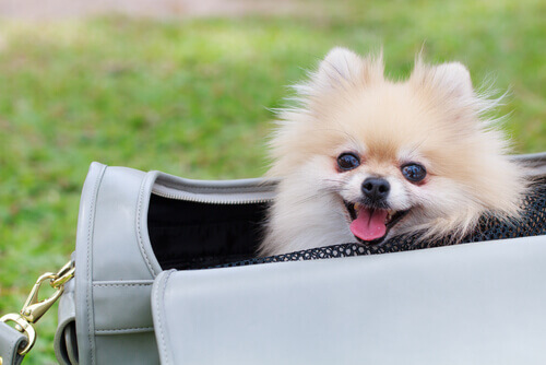 È giusto portare il vostro cane in una borsa?