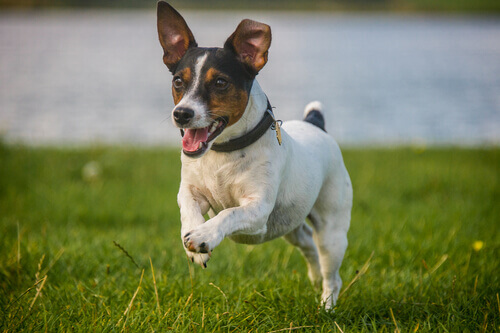 piccolo cane corre sul prato