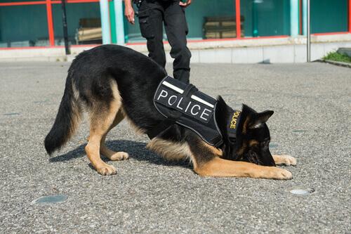 Quali sono le qualità dei cani poliziotto?