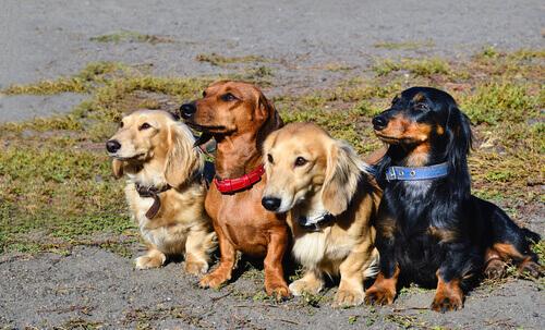 Quattro cagnolini