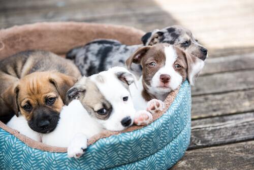 quattro cuccioli di cane nella cuccia