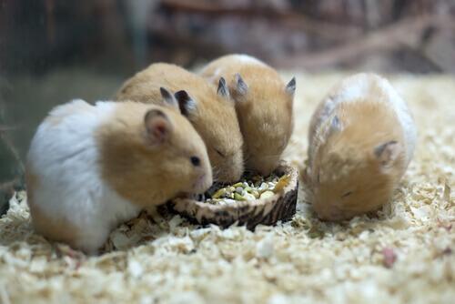 4 criceti mangiano la pappa in gabbia