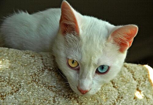 Le 8 Razze Di Gatti Più Affettuosi Al Mondo I Miei Animali