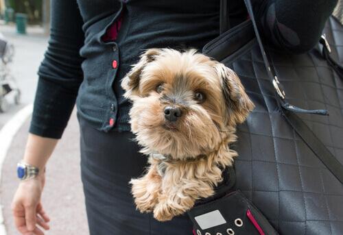 signora porta il suo cane in una borsa
