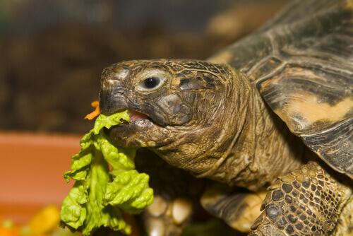 Tartaruga che mangia insalata