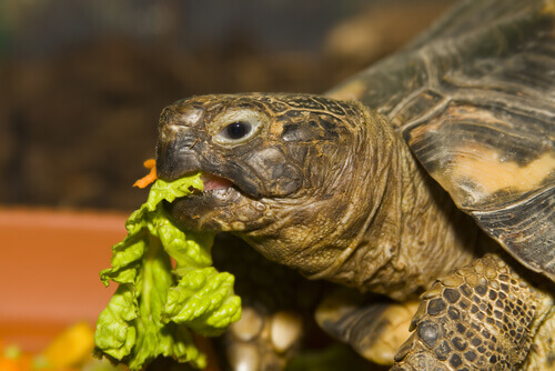 Alimentazione ideale per una tartaruga