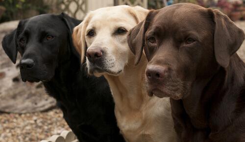 tre cani labrador di colori diversi