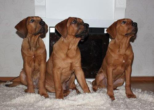 Le razze di cani del Giappone più famose