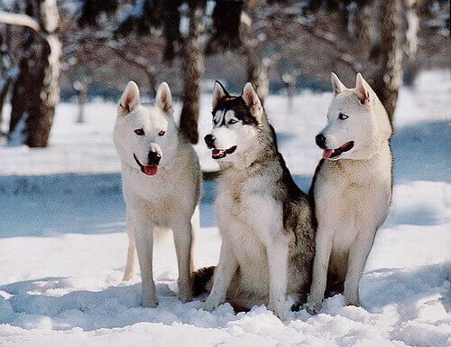 tre husky siberiani sulla neve