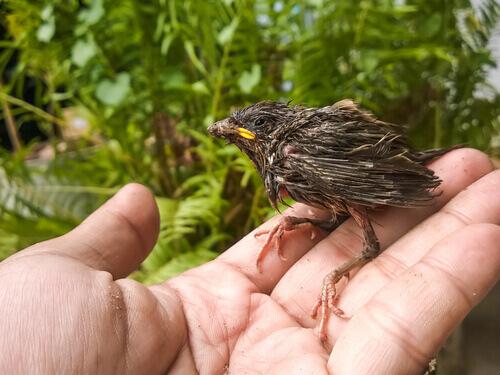 Come alimentare un uccellino in difficoltà