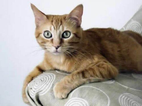 Brazilian Shorthair, la razza di gatti nata nelle strade