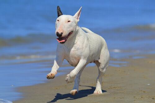 un Bull Terrier corre sul bagnasciuga