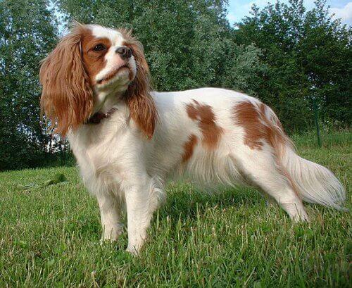un Cavalier King Charles Spaniel bianco e marrone