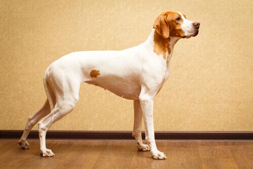 8 interessanti razze di cani a pelo corto