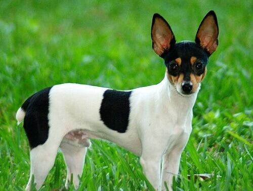 Toy Fox Terrier, una razza davvero formidabile