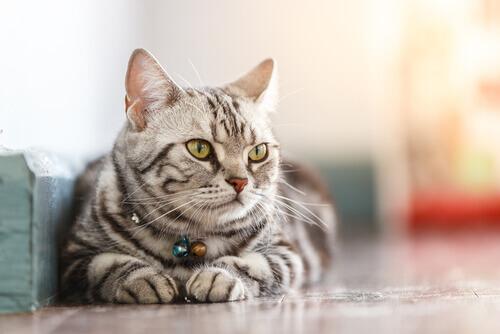 un gatto americano a pelo corto sdraiato
