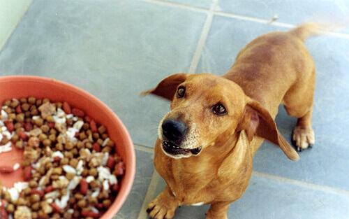 un cane guarda il padrone prima di mangiare