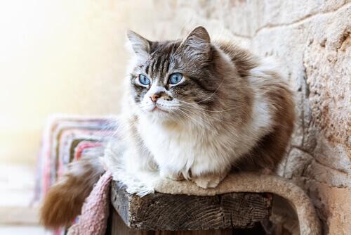 gatto con occhi azzurri seduto su tronco