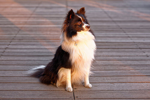 Cane bianco e nero seduto