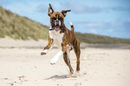 un boxer che salta sulla spiaggia