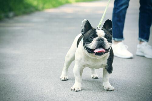 Cistite nei cani: cause, sintomi e cure